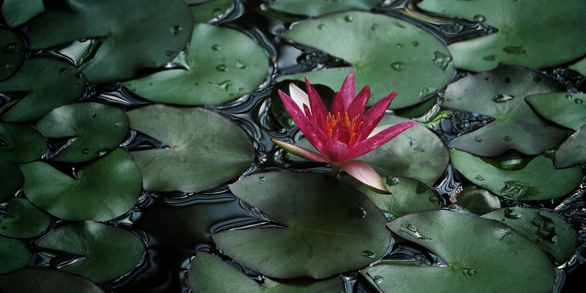lotus-photo.jpg